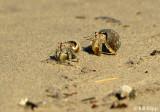 Hermit Crabs,  Granito de Oro   1