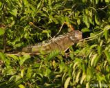 Green Iguana,  Osa Peninsula  1