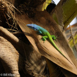 Blue Headed Anole,  Varadero  2