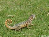 Curly Tailed Lizard, Varadero  5