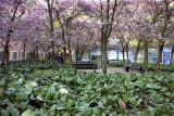 Körsbärsträdgården i kvarteret Fåröarna