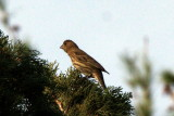 Josie the Female House Finch