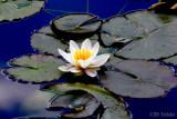 Lotus in the sky