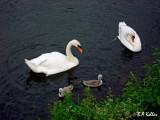 Die Schwanenfamilie