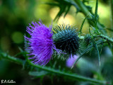 ..just a thistle