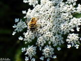 Une abeille...