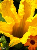 Une fleur de gourgettes..