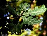 Oak tree..