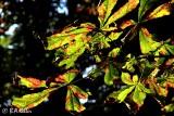 Chestnut tree..