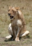 hot lioness..