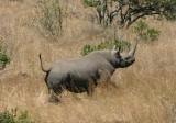 male? rhino