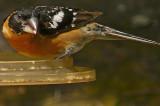 Black-headed Grosbeak - male