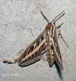 ?White-lined Sphinx Moth ?