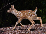 Black-tailed Deer  Fawn Trotting