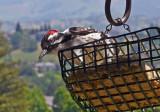 Nuttail's  Woodpecker