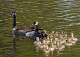 Canada Geese Family in Rossmoor Pond