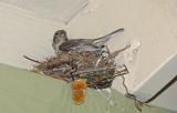 House Finch in Designer Nest