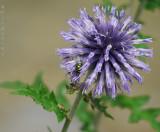 Annie's Purple Thistle Flower