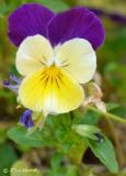 Viola - Yellow & violet/blue