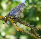 Western Bluebird Juvenile