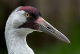 Whooping Crane Portrait
