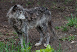 Grey Wolf - Full Body Profile