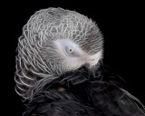 African Grey Abstract