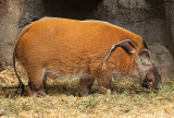 African Red River Pig