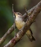 Swainson's Warbler
