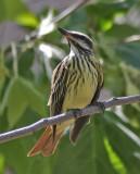 Sulphur-bellied Flycatcher