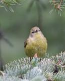 Orange-crowned Warbler (celata)