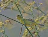 Orange-crowned Warbler (lutescens)