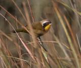 Salt Marsh Common Yellowthroat