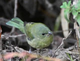 Painted Bunting, Mountain View, November 2011