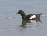 Black Guillemot (Arctic)