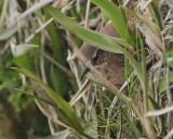 Pacific Wren (Pribilof Islands)