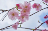 ornamental cherry.jpg