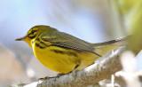 Prairie Warbler ,Taken at Fort DeSoto,Fl