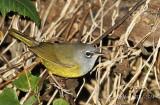 MacGillivarys Warbler.Homestaed,FL