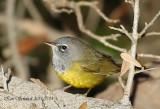 MacGillivarys Warbler,Homestead,FL