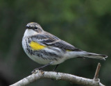 Yellow-rumped Warbler, Mrytle, 12-26-2007