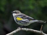 Warbler, Yellow-rumped, Myrtle