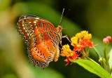 red_lacewing