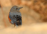 blue_rock_thrush_2011