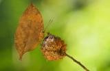 dry_leaf