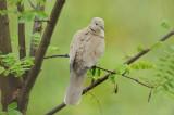 Tourterelle turque - Eurasian Collared Dove -Streptopelia decaocto