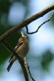 Pinson des arbres - Common Chaffinch - Fringilla coelebs