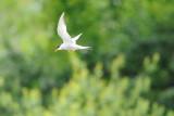 Sterne pierregarin - Common Tern - Sterna hirundo