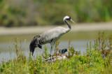 Grue cendrée -Common Crane -Grus grus