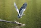 Héron cendré - Grey Heron - Ardea cinerea